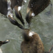 Denmark Group Of Ducks Ducking Poster