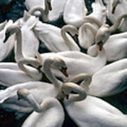 Denmark Swans Gathered On A Lake Poster