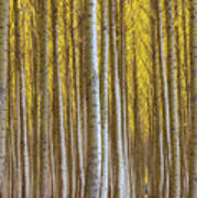 Dense Forest Of Poplar Trees In Boardman Oregon During Fall Poster