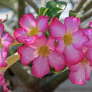 Desert Rose Or Chuanchom Dthb2105 Poster