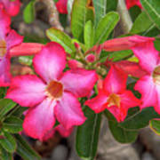 Desert Rose Or Chuanchom Dthb2108 Poster