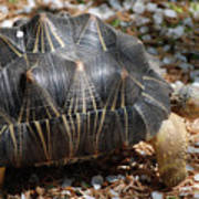 Desert Turtle With An Unusual Shell In The Wild Poster