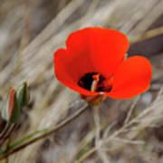 Desert Wildflower Poster