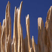 Detail Of Bristlecone Pine Poster