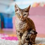 Devon Rex Purebred Domestic Cat Poster