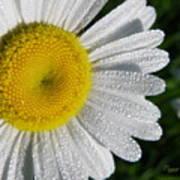 Dew Dazzled Daisy Poster