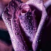 Dew Drops And Purple Rose Poster