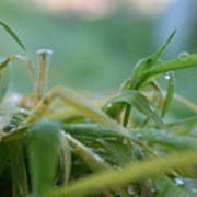 Dew Grass Poster