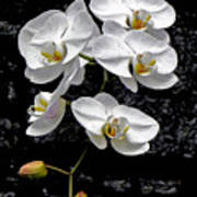 Dew-kissed Cascading Orchids Poster