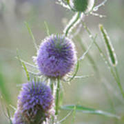 Dew On Thistles 2 Poster