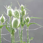 Dew On Thistles 3 Poster