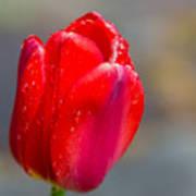 Dew On Tulip Poster