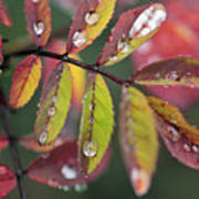 Dew On Wild Rose Leaves In Fall Poster
