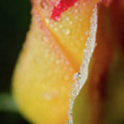 Dew On Yellow Rose Nature Photograph Poster