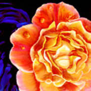 Dewy Peach Rose Poster