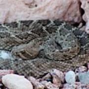 Diamondback Rattlesnake 062414a Poster