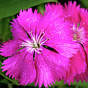 Dianthus First Love Flower Print Poster