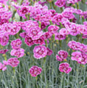 Dianthus Gold Dust Flowers Poster