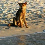 Dingo On The Beach Poster