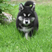 Dinstinctive Black And White Markings On An Alusky Pup Poster