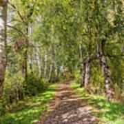 Dirt Path In A Birch Grove  Poster