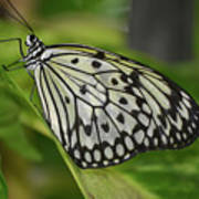 Distinctive Side Profile Of A White Tree Nymph Butterfly Poster
