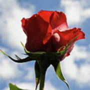 Diva Rose Poster