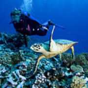 Diver And Green Sea Turtle Chelonia Poster