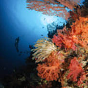 Diver Swims By A Soft Coral Reef Poster