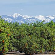 Dm6850-e Orange Grove And The Sierra Nevada Ca Poster