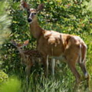 Doe And Fawn Poster