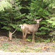 Doe At Suttle Lake Poster