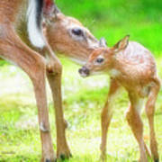 Doe Nuzzles Her Fawn Poster