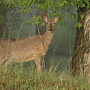 Doe On A Foggy Morning In Wyoming Poster