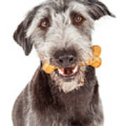 Dog Carrying Bone Biscuit In Mouth Poster