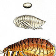 Dog Flea, Lifecycle, Illustration Poster