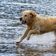 Dog Running On Shallow Lake Shore Poster