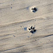 Dog Tracks In The Sand At Carmel Beach Poster
