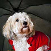 Dog Under Umbrella Poster by Elena Elisseeva