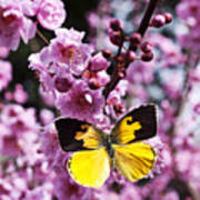 Dogface Butterfly In Plum Tree Poster
