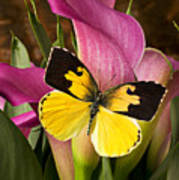 Dogface Butterfly On Pink Calla Lily  Poster
