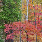 Dogwood And Cedar Poster