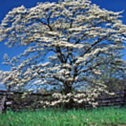 Dogwood And Rail Fence Poster