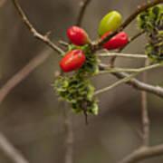 Dogwood Berries Poster