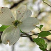 Dogwood Bloom Poster