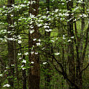 Dogwood Blooming In Forest Poster
