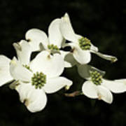 Dogwood Blooms Poster