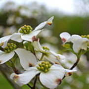 Dogwood Blossoms Poster