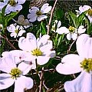 Dogwood Blossoms Pair Up Poster