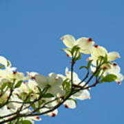 Dogwood Flowers Art Prints White Flowering Dogwood Tree Baslee Troutman Poster
